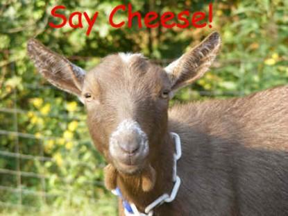 Daisy-500-cheese