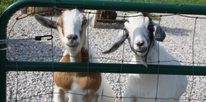 Goats-Let-me-out-1-2009
