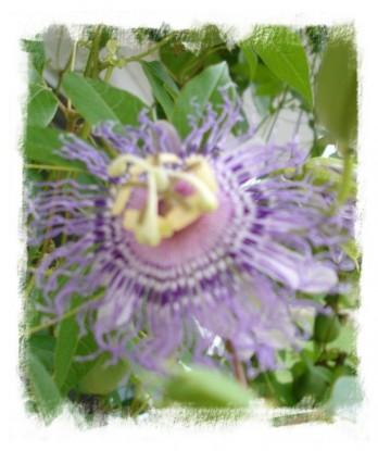 Purple-Passion-Vine
